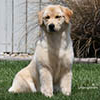 mi golden retriever breeder kokopelli goldens girls icon