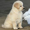 mi golden retriever breeder kokopelli goldens photos icon