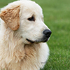 mi golden retriever breeder kokopelli memories home icon