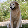 mi golden retriever breeder kokopelli goldens retired icon