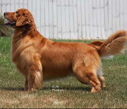 kokopelli golden retrievers abrahaqm AKC/UKC  CH Shadowland Morado Gettysburg Address BISS<